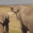 Enjoy some photos of what I saw on safari in Kenya's Amboseli National Park. Read more about our safari in Amboseli on the Mad Traveler blog. (You can see these […]