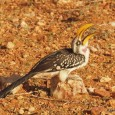 A great addition to the life list of any birder and just a fascinating bird to watch for any wildlife enthusiast, the hornbill was thankfully abundant on our safari trip […]