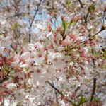 japanese-cherry-blossoms-osaka-002