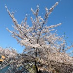 japanese-cherry-blossoms-osaka-011
